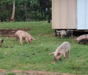 pigs-in-yard