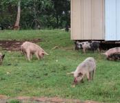 pigs-in-yard